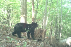 (2/4) He had it out before, but the camera did not work, and the bear tore apart another stump location and tore the bark off the tree where he poured it down the bark.