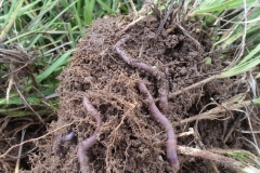"""The worms like in the picture are in every shovel full that is turned over anywhere under the pivots now.  When I bought the farm 10 years ago, I asked the county extension agent if there were worms in the valley because I had not seen one worm in the first 2 years on the farm that I'd been here and I really looked for them.  He assured me that the valley had worms, but our farm did not! This farm had been conventionally farmed for over 50 years and was totally sterile it seems. The wood fence posts were more decomposed above ground than below ground that I attribute it to the chemicals applied.  2 years ago we stopped all conventional pesticides herbicides and fertilizers and began applying Eden's Blue Gold™ Solutions, and the earthworms exploded in just one month after our first applications, the first year of using the solutions."" -Bar 10 Ranch, St. George, Utah"