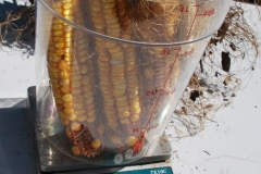(8/10) The neglected Blue Gold™ corn stalk produced almost 900 grams.