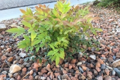 """""""The new Nandina is taking well. In one day!!!!"""" -George Reymer"""