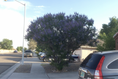 Blue Gold™ customer, George Reymer sent us this video of his Rose Bushes and Butterfly Bush, which is basically a Butterfly Tree at this point! 🦋🌹 George is based in Albuquerque, New Mexico and has no issues with heat stress on his plants using Blue Gold™!