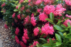 These Ixora plants received only one application of Blue Gold™ Base and busted out in massive blooms!