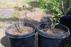 """(1/2) These two pomegranates were cuts taken from the bigger plant. I transferred them from two gallon to these pots. One was fed Gro-More. They both received some foliar spraying. Just FYI for the what not to do's. The mother plant is fried."""" -Mike Jones"""