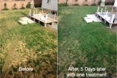 (1/3) Untreated Lawn Transformed with Blue Gold™