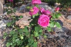 (1/8) Photos from George's rose garden (6/5/19) in Albuquerque, NM!
