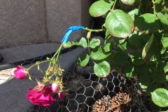 """""""Look at this broken rose. Paint masking tape works the best I've found. There is a green one out there. She's growing upside down. Blue Gold™ Blessing! Praise Yeshua."""" -George Reymer, Albuquerque, NM!"""