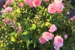 (1/13) Photos from George's rose garden (5/31/19) in Albuquerque, NM!