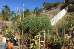(5/9) San Diego is basically in a drought at the moment, but his tomato plants are 10' high!