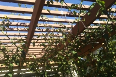 (6/7) They (tomatoes) will grow over the top of patio awning.