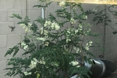 Blue Gold™ Moringa Tree! See the hummingbird towards the top side left!
