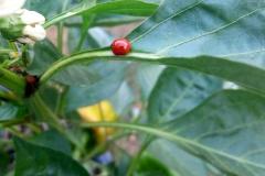 (1/2) Pepper plant with three ladybugs. -Mike Jones
