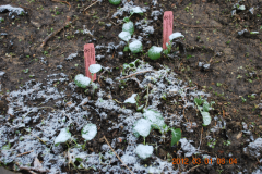 (6/11) This is the second snowfall, after several 'killing' touches of frost, on the Blue Gold™ greenhouse test plants.