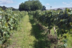 "(1/3) This Washington State vineyard grows for Welch's Grape Juice. He is happy to report reduced ""greening"" and increased BRIX and increased fruit sets for a huge harvest increase on the Blue Gold™ program! The bonus payments he received from the Brix and harvest increase paid for his Blue Gold™ purchase several times over and increased his profits. A very healthy Blue Gold™ vineyard with no pests and no diseases!"