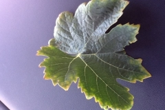 (1/2) This is a leaf from a vineyard who just started using Blue Gold™ and are seeing their yellowing reduced!