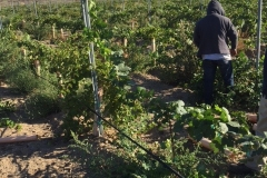 10 Month old vines on the Blue Gold™ Program are preparing for a harvest! Incredible!