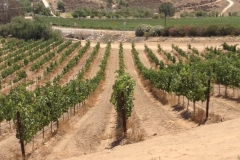Blue Gold™ vineyard is looking awesome!